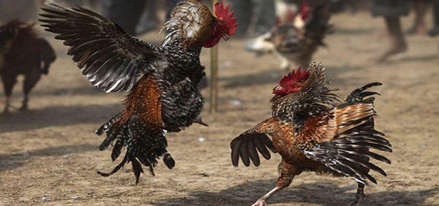 Taruhan Sabung Ayam Online Uang Asli